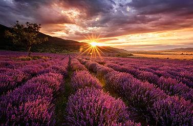 lavender-field-PVFE7YA.jpg