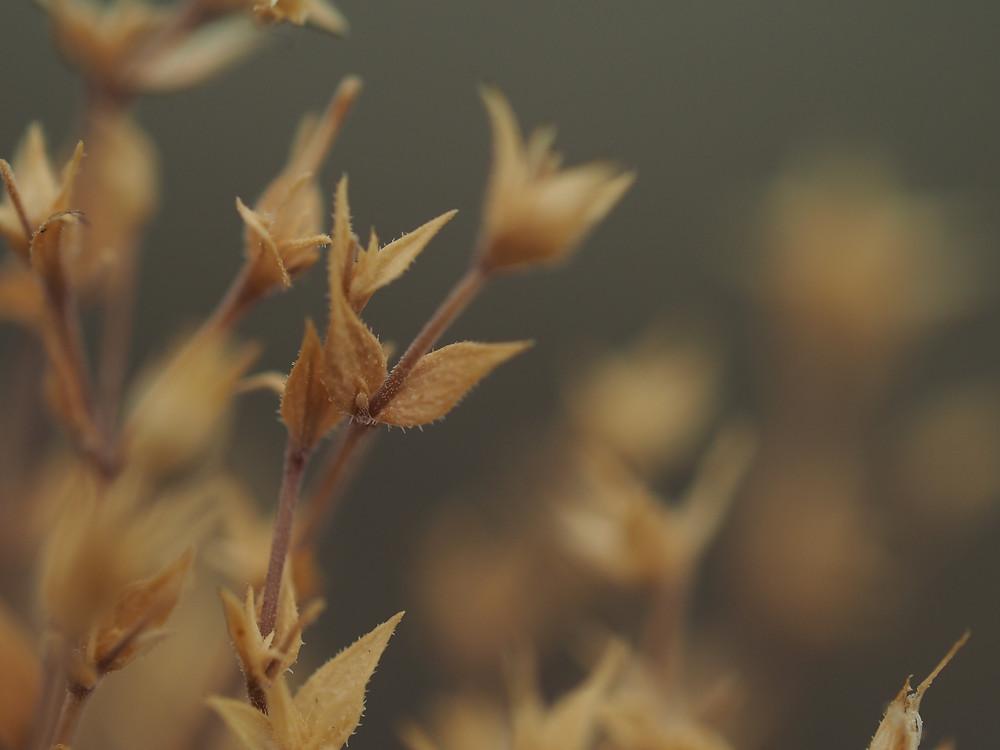 A 60-as makró objektívvel készített képem egy száraz gyomról • Saját fotó