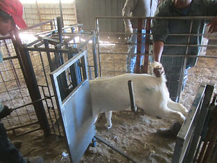 Inseminatiion cradle. shoot. Goat restraint. AI.