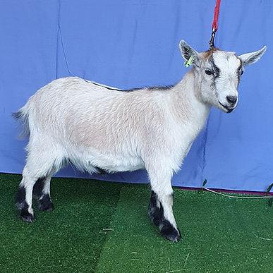 Goat3 (2).jpg