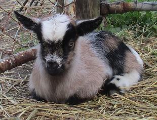 Springfield Farm Pixie (1024x784).jpg