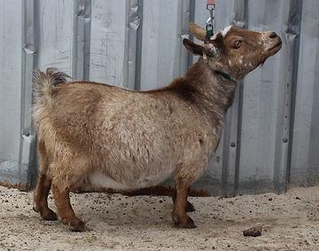 Goat1 (2).jpg