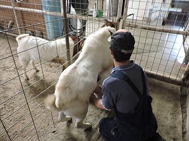Boer goat. semen collection. Trinity. artificial vagina collection.