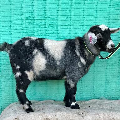 Goat3 (1).jpg