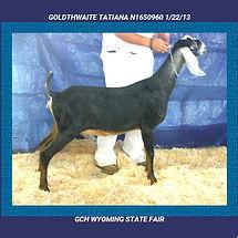 goldthwaite bootonniere. anglo nubian.semtechabs.trinity.artificial insemination.semen.milk production.dairy.daughter