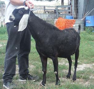 goldthwaite bootonniere. anglo nubian.semtechabs.trinity.artificial insemination.semen.milk production.dairy.son