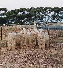Angora goats. Mohair bucks.