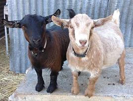 Springfield Farm Princess and Primrose (