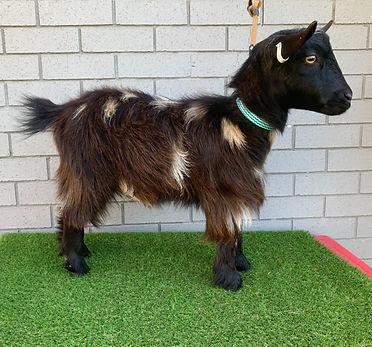 Goat1%20(2)_edited.jpg