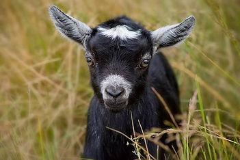 Pygmy Goat kid. Pygmy ears