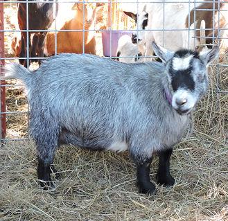 Light grey agouti pygmy doe. Full Blood. Embryo donor. quarantine