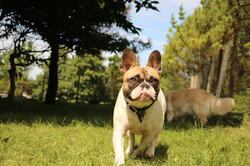 Teddy french on the prowl at Doggy Day Care Cornwall
