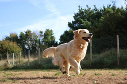 Golden Milo leading the charge at Doggy Day Care Cornwall