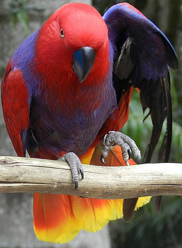 Dancing Parrot RedPurpleYellow.jpg