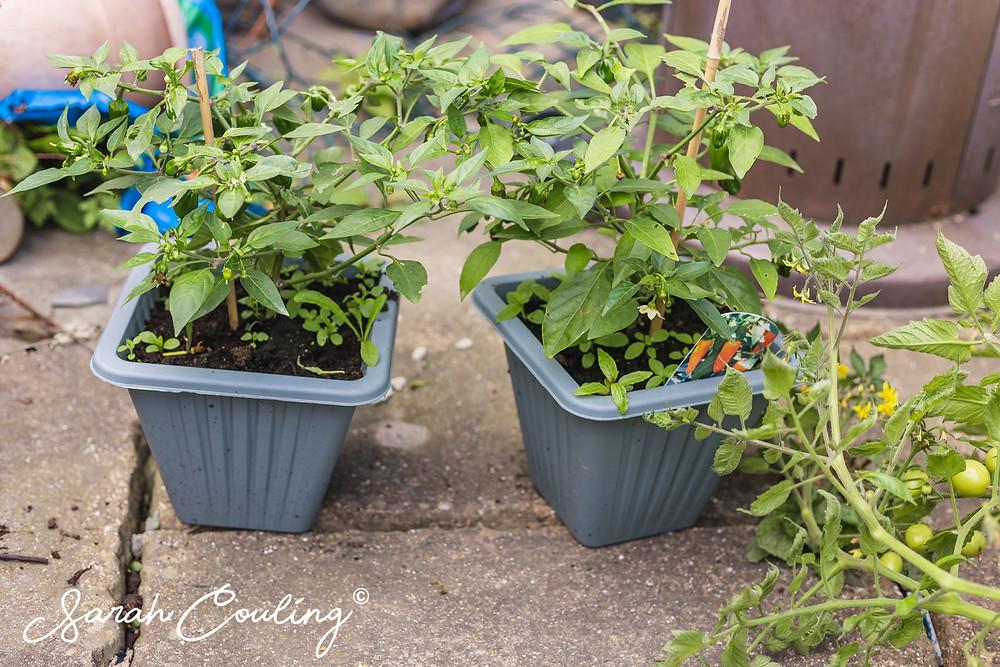 Chilli pepper plants