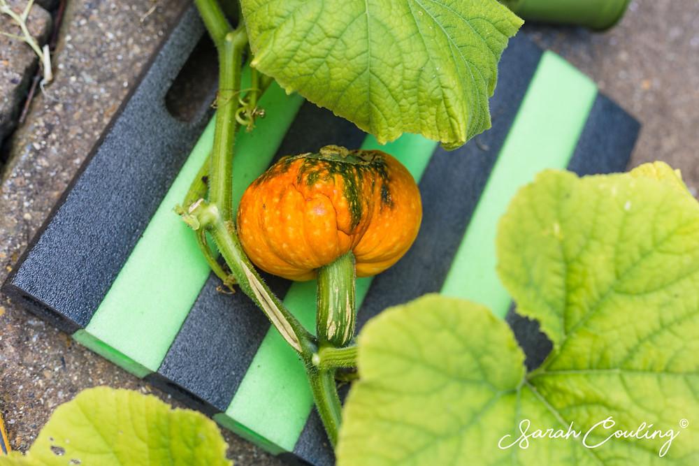 Small pumpkin on vine