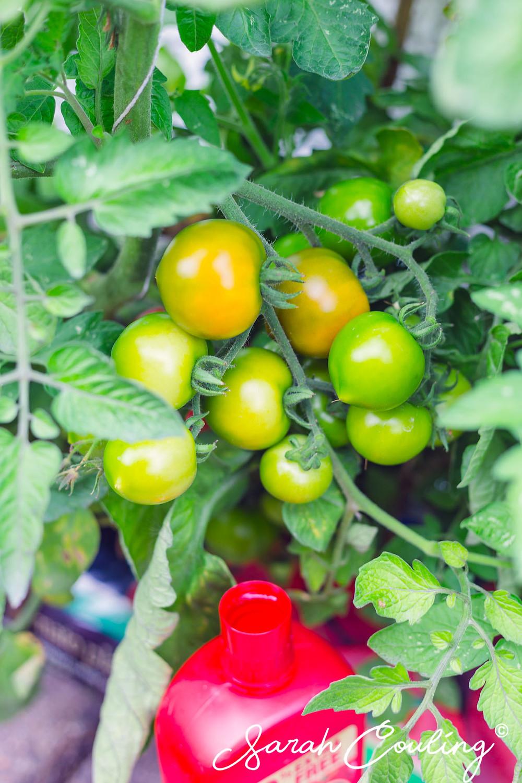 tomatos on vine