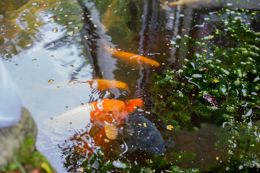 Gold fish in pond