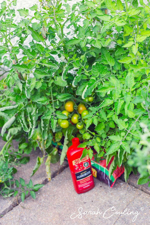 Big bushy tomato plant with green tomatos