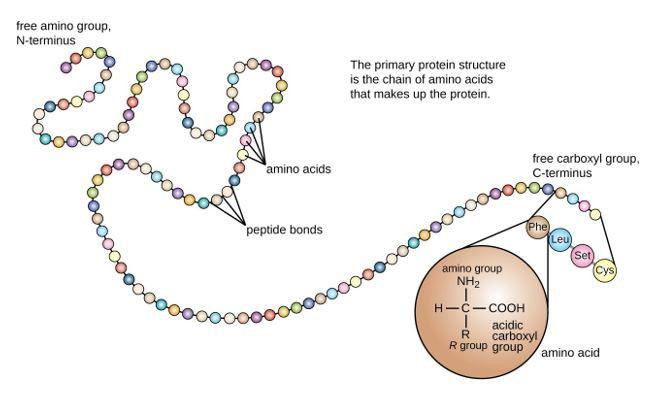 A string of circles that represent amino acids