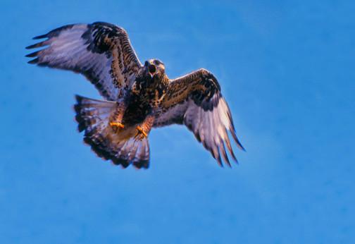 Rough-legged hawk flying and calling