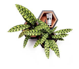 Horticus small living wall kit with Calathea (Calathea Lancifolia)