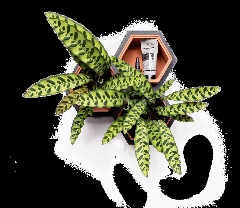 Horticus small living wall kit with Calathea (Calathea Lancifolia)