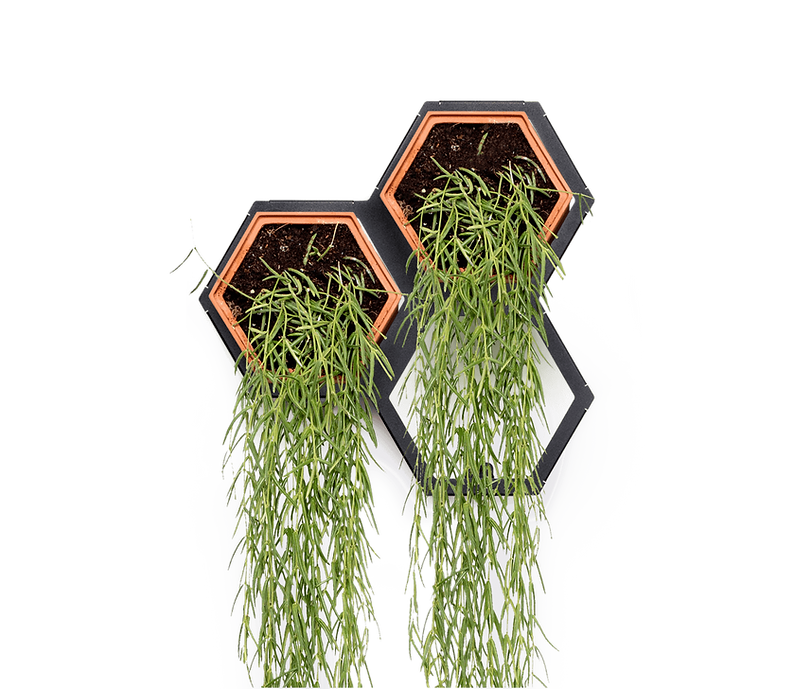 Horticus small living wall kit with Hoya (Hoya Linearis)