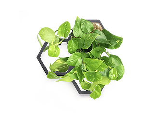 Horticus small living wall kit with Pothos (Epipremnum Aureum)