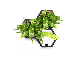 Horticus small living wall kit with Crocodile Fern (Microsorium musifolium)