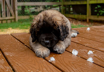 Cute Leonberger Puppy Playing With Ice
