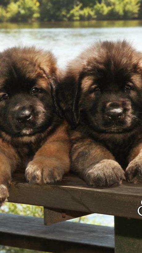 Sforzando Leonberger Puppies, Adorable