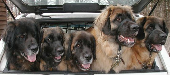 Multilple Leonbergers in Back of the Car.
