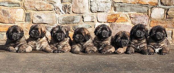 Sforzando Leobergers J Litter, Leonberger Puppy Portrail