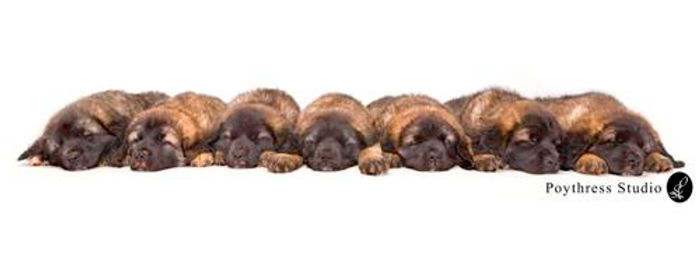Sforzando Leonberger Puppies