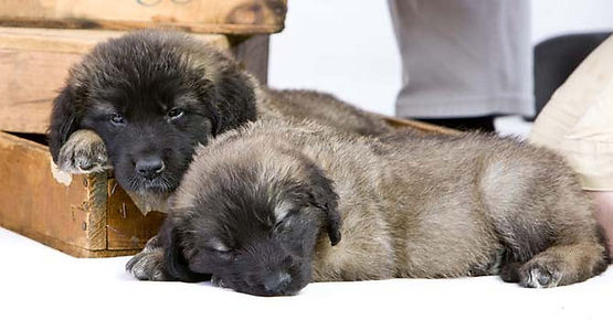 Sleeping Leonberger Puppies