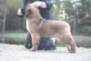 Leonberger Puppy.jpg