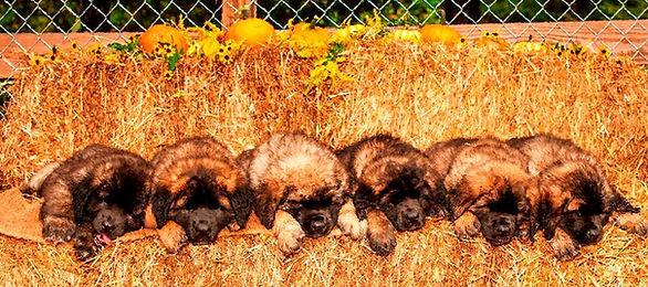 Sforzando Leonbergers H Litter, Leonberger puppies in Straw
