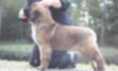 Three Month Old Leonberger Puppy, Sforzando Leonbergers, GCH CH Sforzand's Fioritura