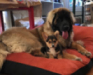 Leonberger with small dog.