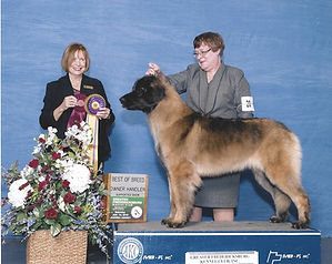 Sforzando Leonbergr, Best of Breed, AKC Champion Leonberger Bitch