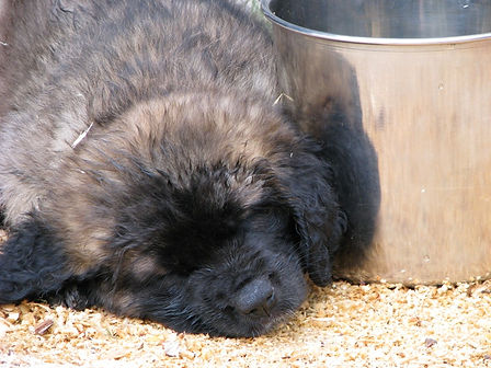 Leonberger Puppy with Water Bucket