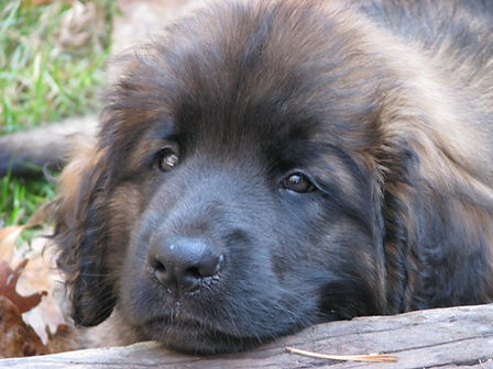 Leonberger Puppy Nine Weeks