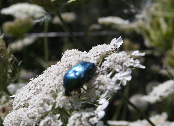 J'attire les insectes en plantant des mellifères