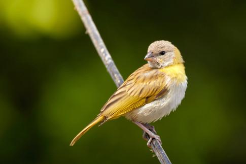 Botón de oro - Sicalis flaveola