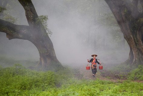 Banyan trees (Higuera de Bengala)