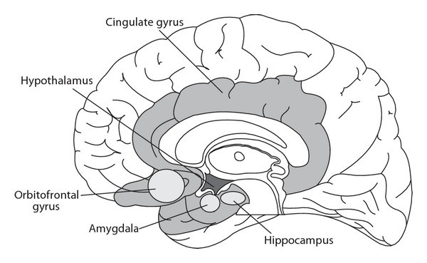Anatomical Diagram of the Limbic System