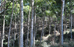 5 curiosidades sobre o Cedro Australiano cultivado no Brasil que você não sabia