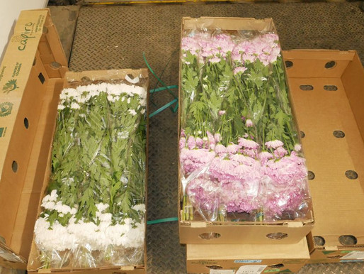 Colombia exportará más de 700 millones de flores por el Día de San Valentín