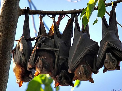 Hallan lotes de nuevos coronavirus en murciélagos de China